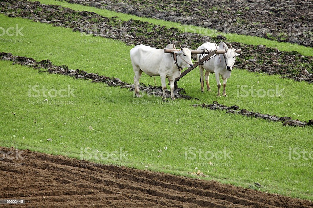 Plowing fields with an ox team stock photo