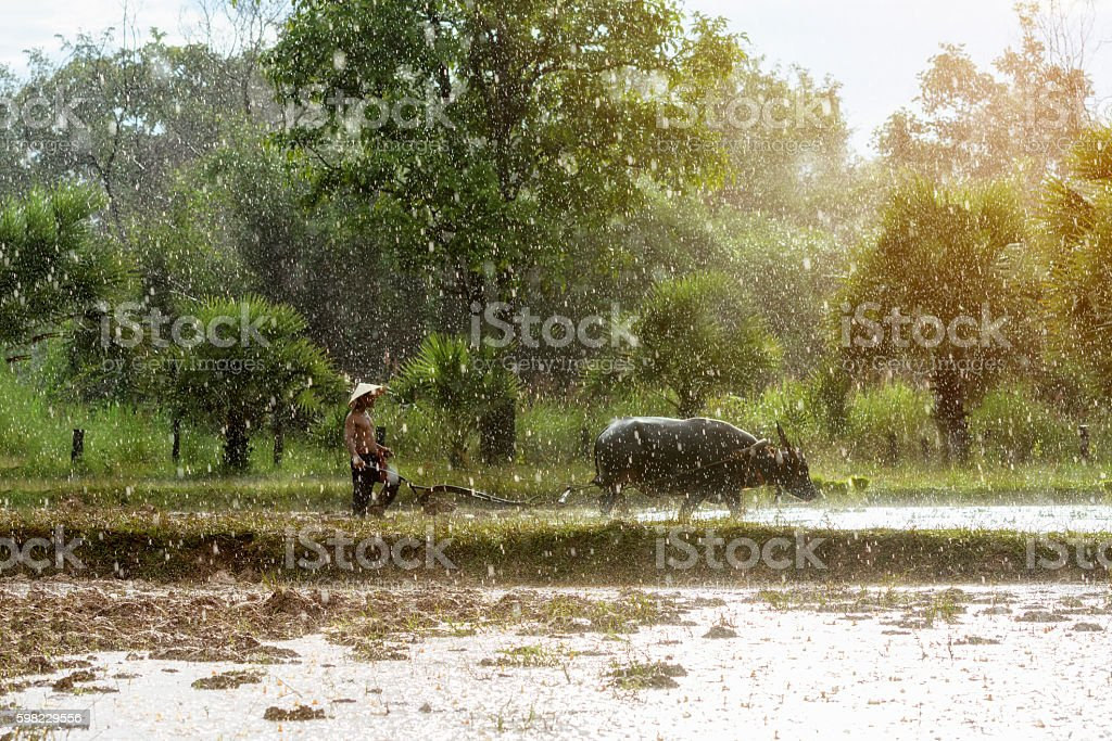 Plowing with water buffalo. foto royalty-free