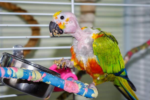 perroquet pincée manger millet, tenant en pied. - animaux familiers exotiques photos et images de collection