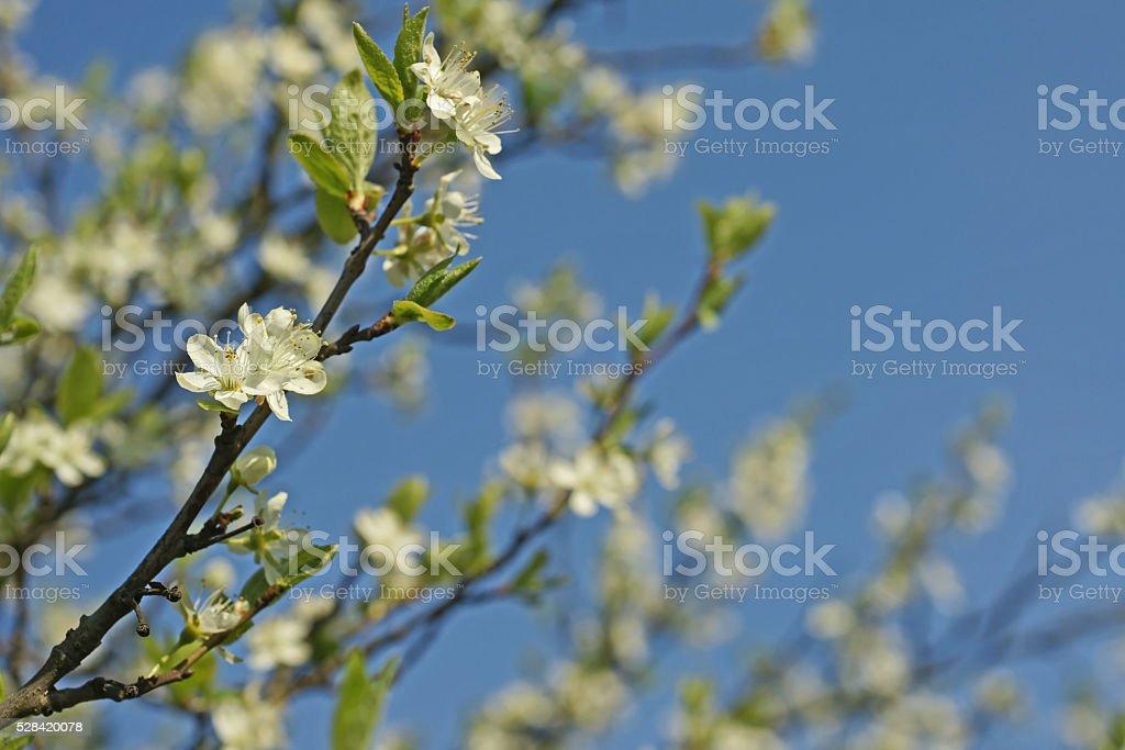 Plum blossom and blue sky stock photo