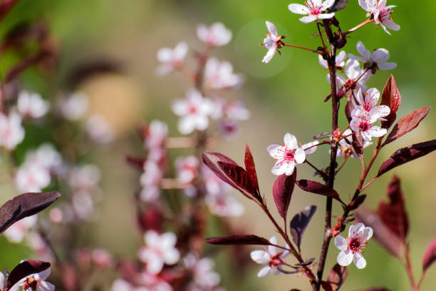 Plum blossom. Background with a branch of a flowering decorative plum stock photo