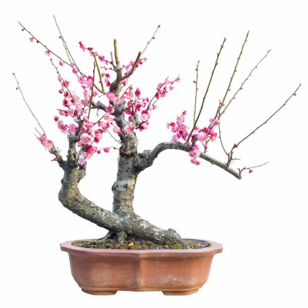 Plum blossom bonsai picture id910736212?b=1&k=6&m=910736212&s=612x612&w=0&h=4pgihvzxwv8wdd7ofssodqiztsv7yqw5pf9hwn pzf0=