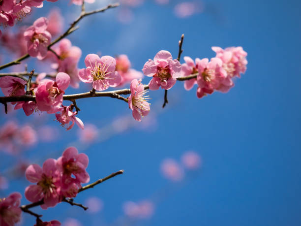 pflaumenblüte in japan - pflaumen wände stock-fotos und bilder