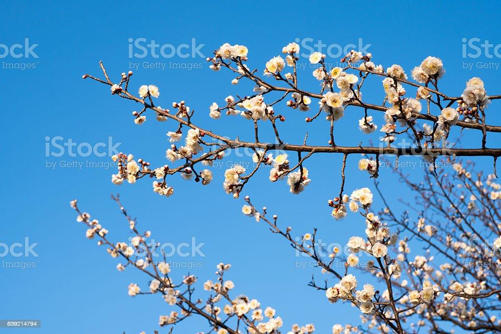 梅の花の日本 ストックフォト
