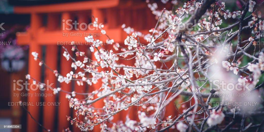 Plum Blossom of Kitano Tenmangu Shrine. stock photo