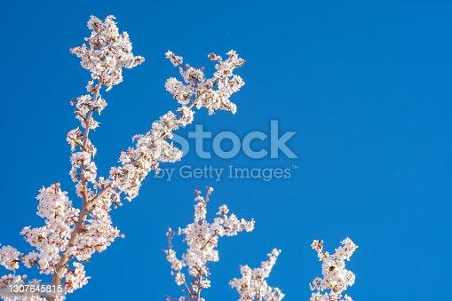 Plum blossom on the blue sky background.