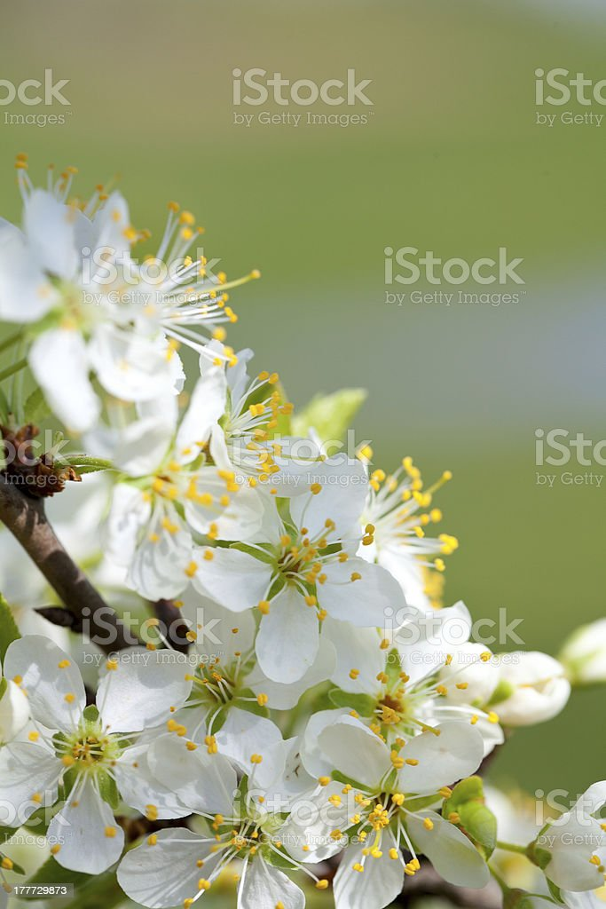 plum blossom royalty-free stock photo