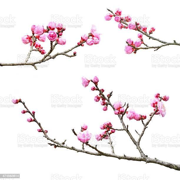 Photo of Plum Blossom