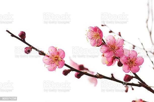 Plum blossom picture id505374238?b=1&k=6&m=505374238&s=612x612&h=e ksw6ig0wkjuacdww2hfpmmmnjpvxs6z3o5pghvtqk=