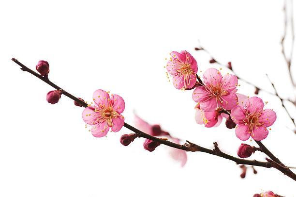 plum blossom - 果樹類開花 個照片及圖片檔