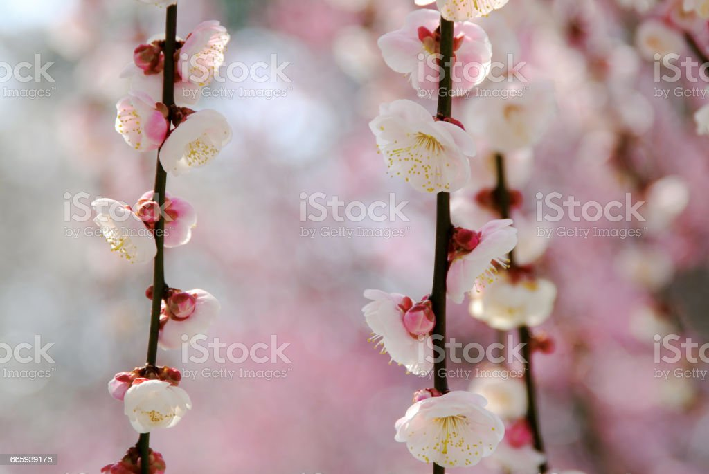 Plum blossom foto stock royalty-free