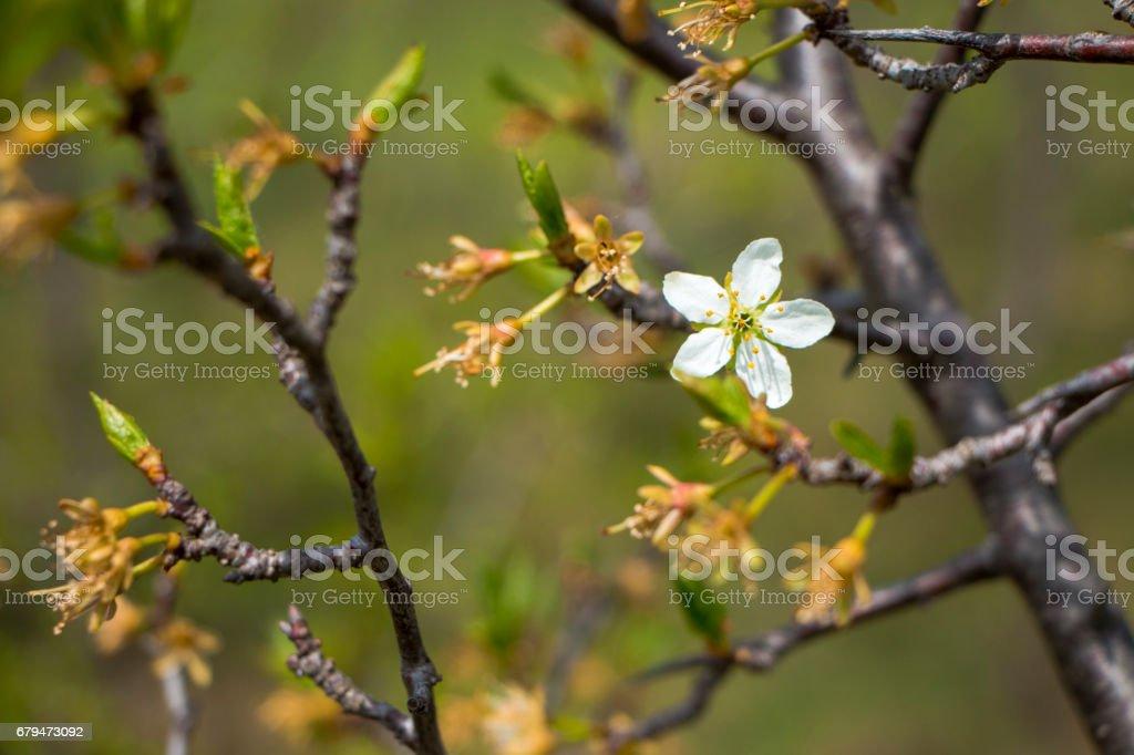 Plum blossom 免版稅 stock photo