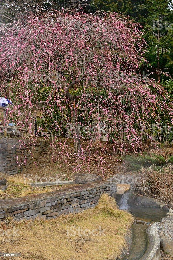 Flor de la ciruela temporada, Japón foto de stock libre de derechos