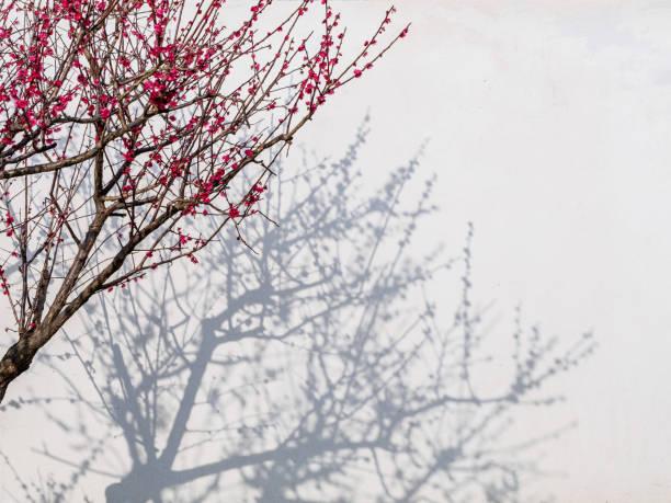 plum blüten und schatten auf die wand, wie traditionelle chinesische gemälde. - pflaumen wände stock-fotos und bilder