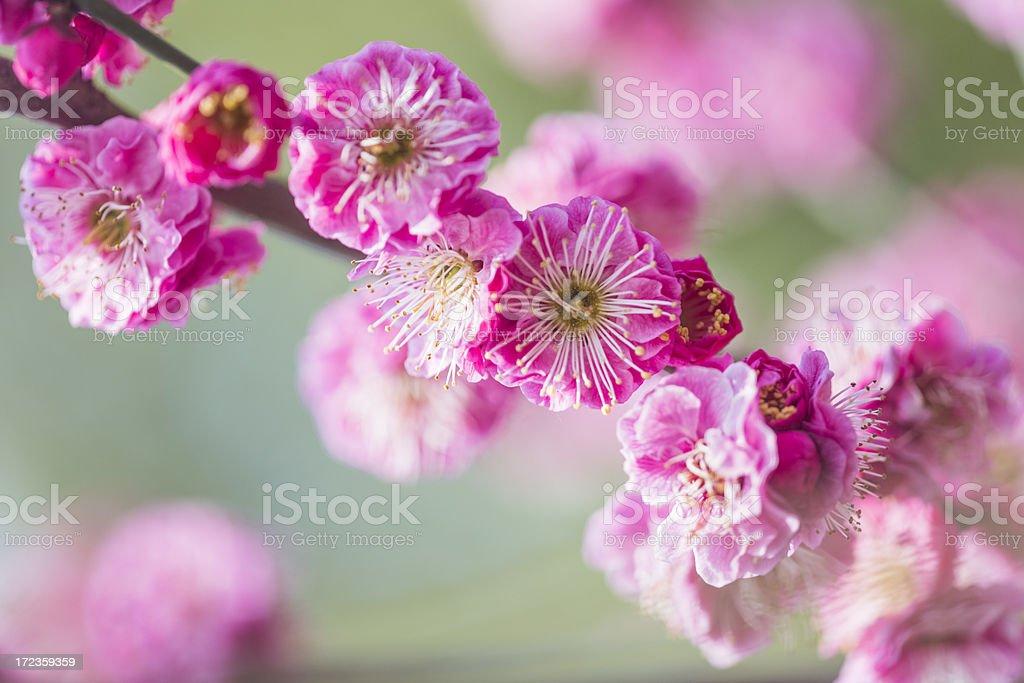 Plum flores en primavera foto de stock libre de derechos