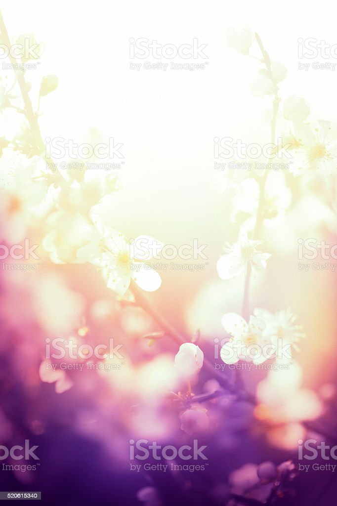 Flores de ameixa durante o nascer do sol - foto de acervo