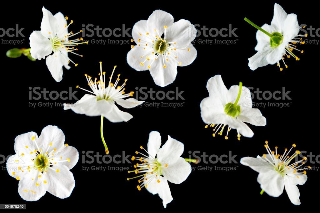 Flores de ameixa sobre preto - foto de acervo