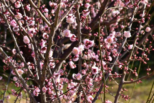 Plum blossoms picture id1302988924?b=1&k=6&m=1302988924&s=612x612&w=0&h=brx5pdqo7zqydm6ctryjp6eivnj0chnxgqws4rgljl4=