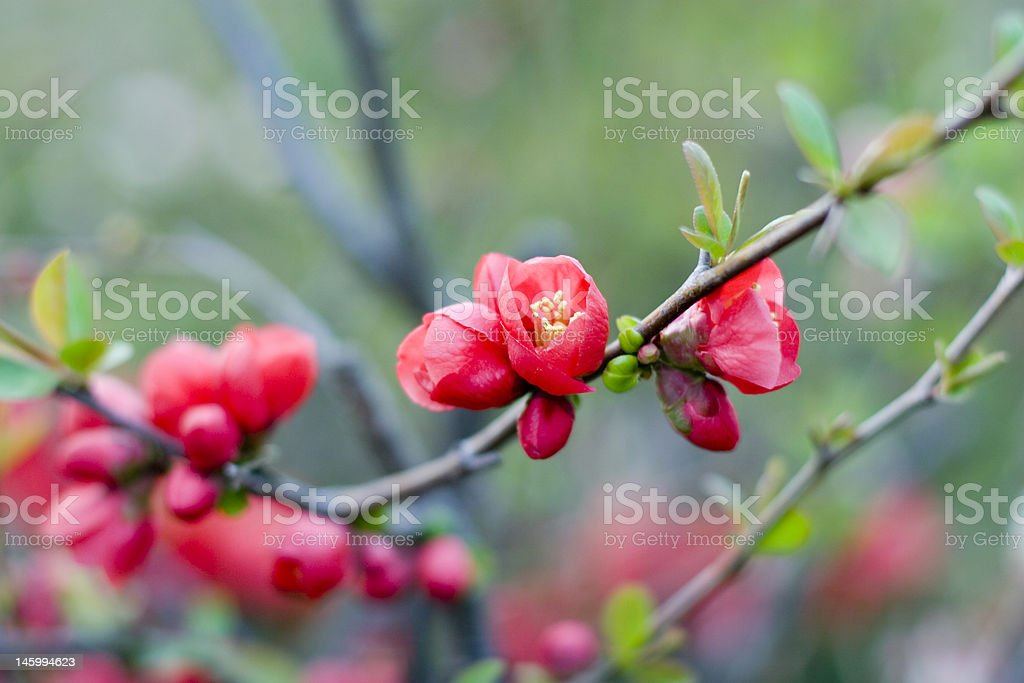 plum blossoms royalty-free stock photo