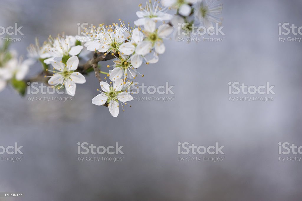 Plum Blüten Lizenzfreies stock-foto