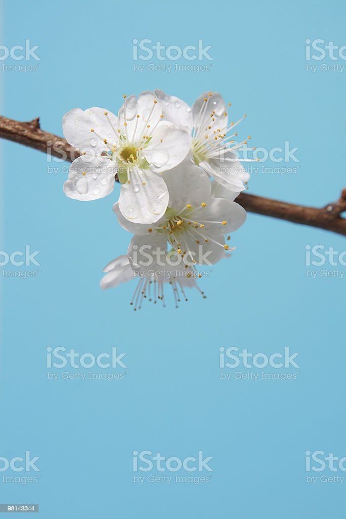 Plum blossoms. royalty-free stock photo