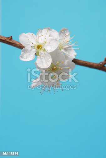 Plum Blossoms Stock Photo & More Pictures of Beauty