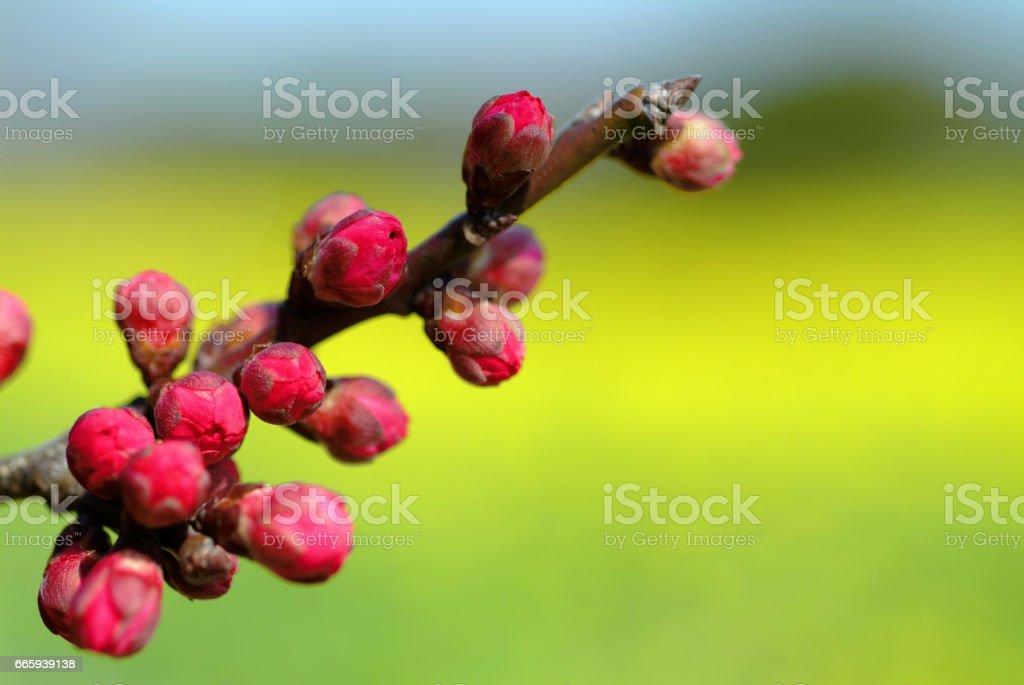 Plum flower buds foto stock royalty-free