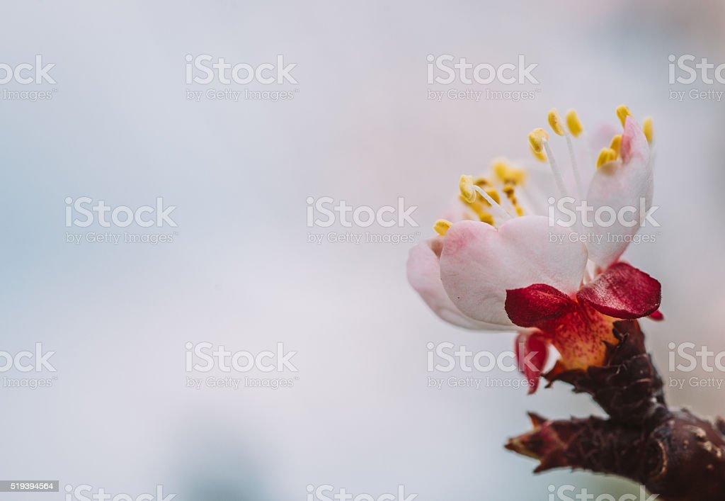 Flor de Ameixa foto macro com espaço para texto - foto de acervo