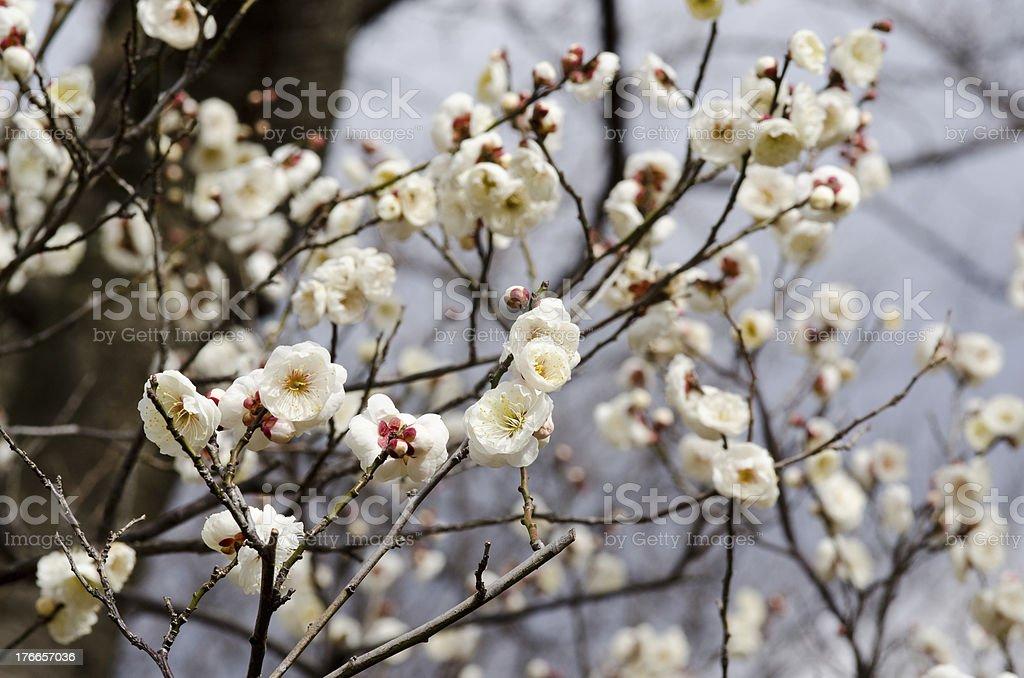 Plum flowers royalty-free stock photo