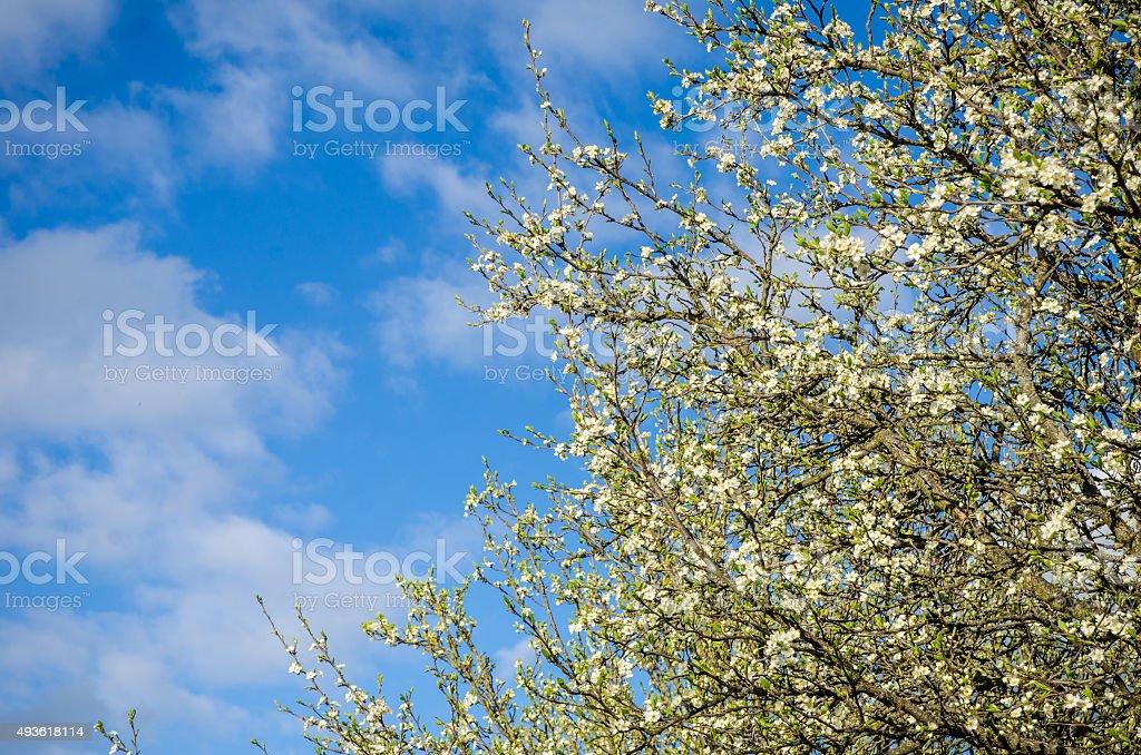 Plum flowers stock photo