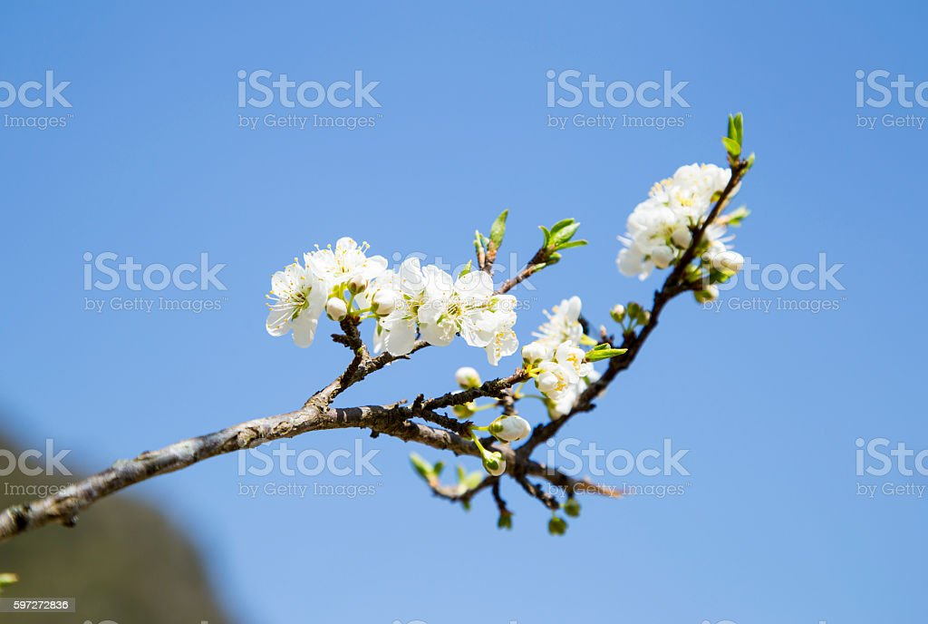 Plum flowers royalty-free stock photo