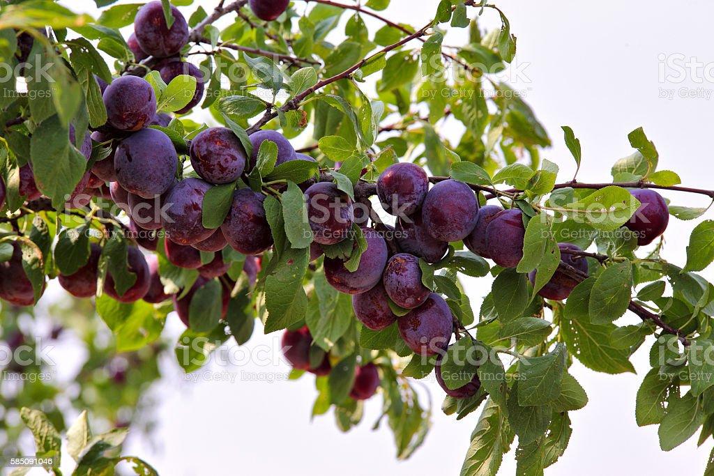 plum fruit garden in summer stock photo