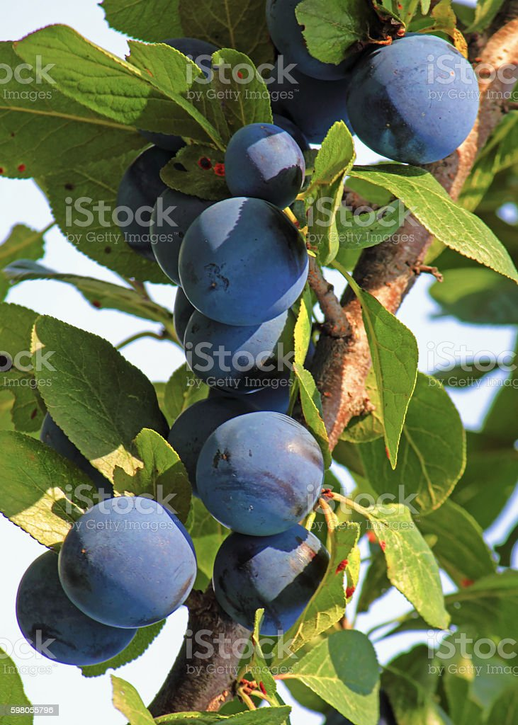 Plum fruit on a tree. stock photo