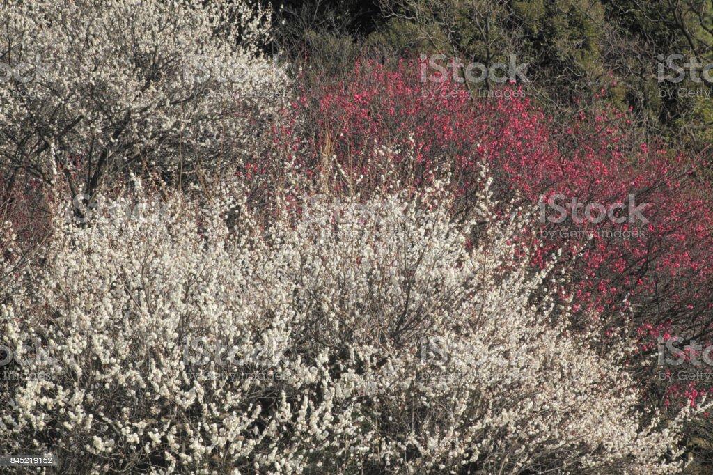 Plum Garden stock photo