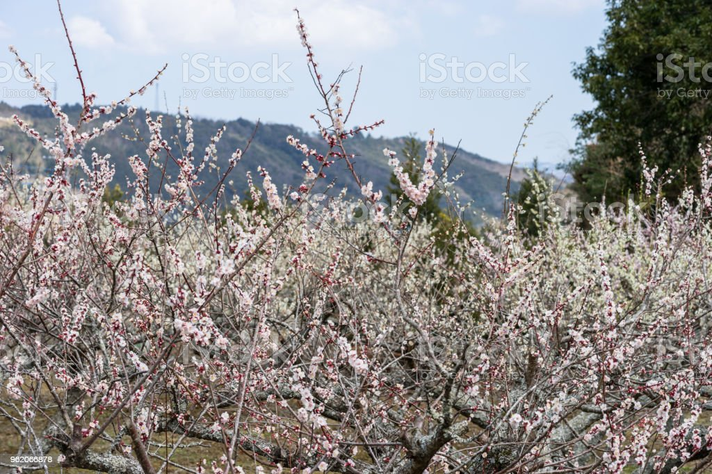 Plum garden stock photo
