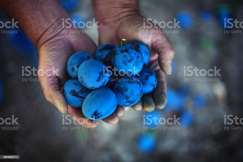 Plum harvest. Farmers hands with freshly harvested plums stock photo