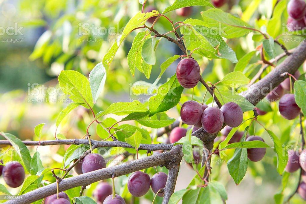 plum harvest stock photo
