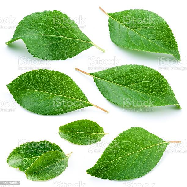 Plum leaves isolated on white background picture id469799532?b=1&k=6&m=469799532&s=612x612&h=h4bro7mbjsri87qk g5rxpqywxw3gxob4y31jbestgy=