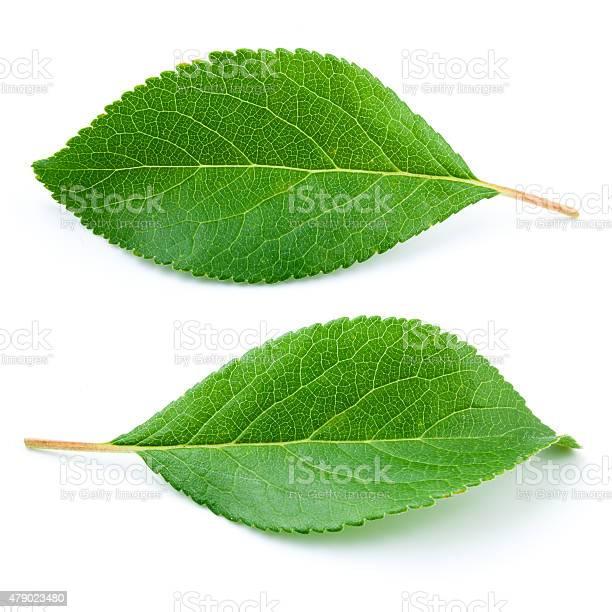 Plum leaves isolated on white background picture id479023480?b=1&k=6&m=479023480&s=612x612&h=duk5awcjgzbi4vtf91m0ijorc897dukbhi vw4zjkfu=