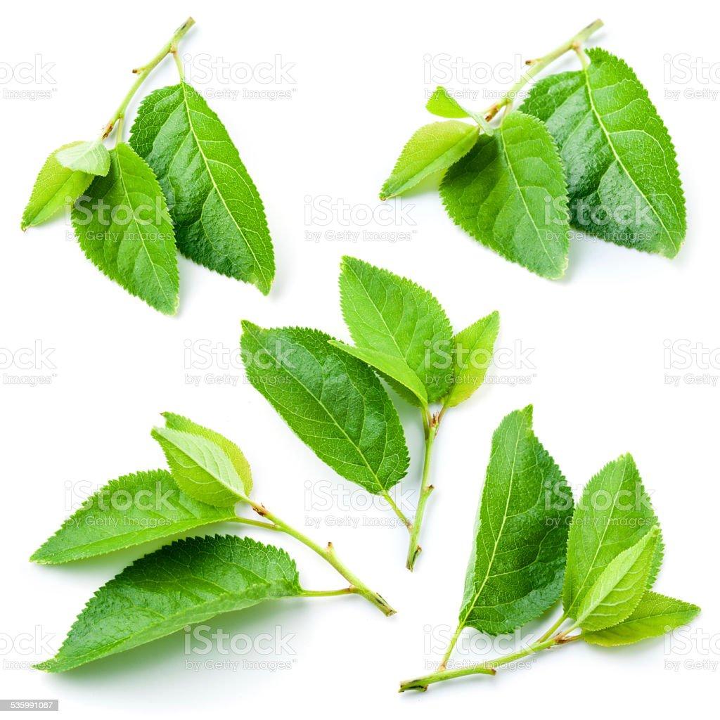 Plum Blätter, isoliert auf weißem Hintergrund – Foto