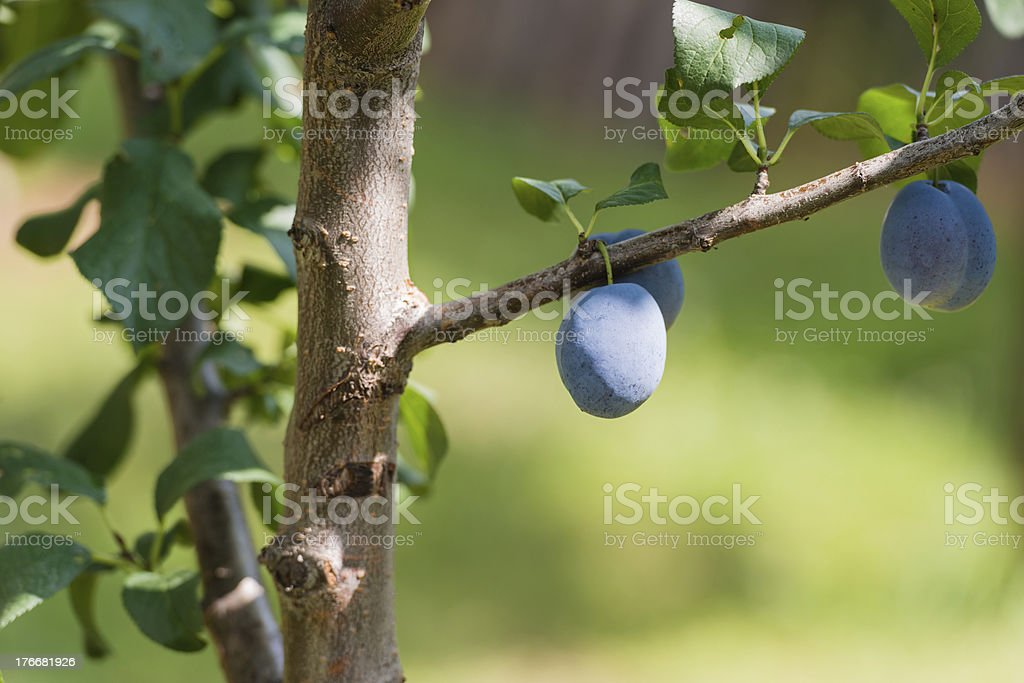 plum on a branch in an orchard royalty-free stock photo