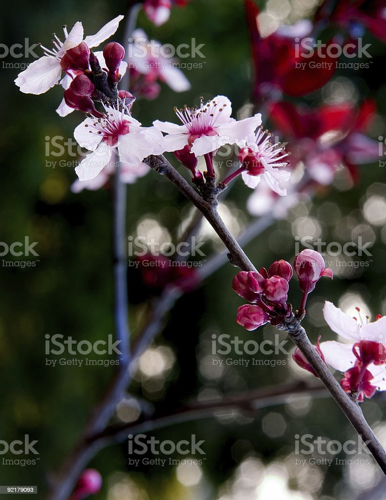 Plum orchards royalty-free stock photo