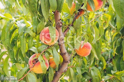 Formal Garden, Italy, Summer, Tuscany, Peach Tree