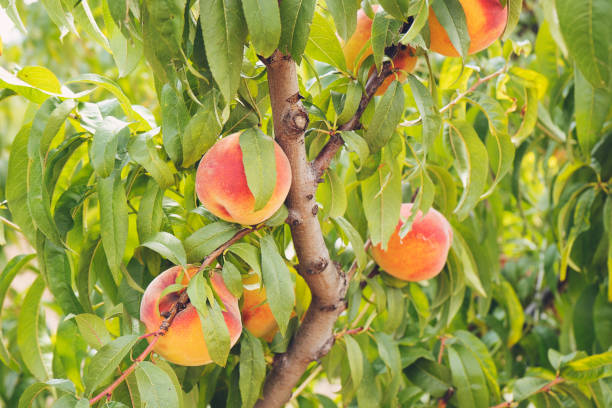Plum peach tree with fruits growing in the garden stock photo