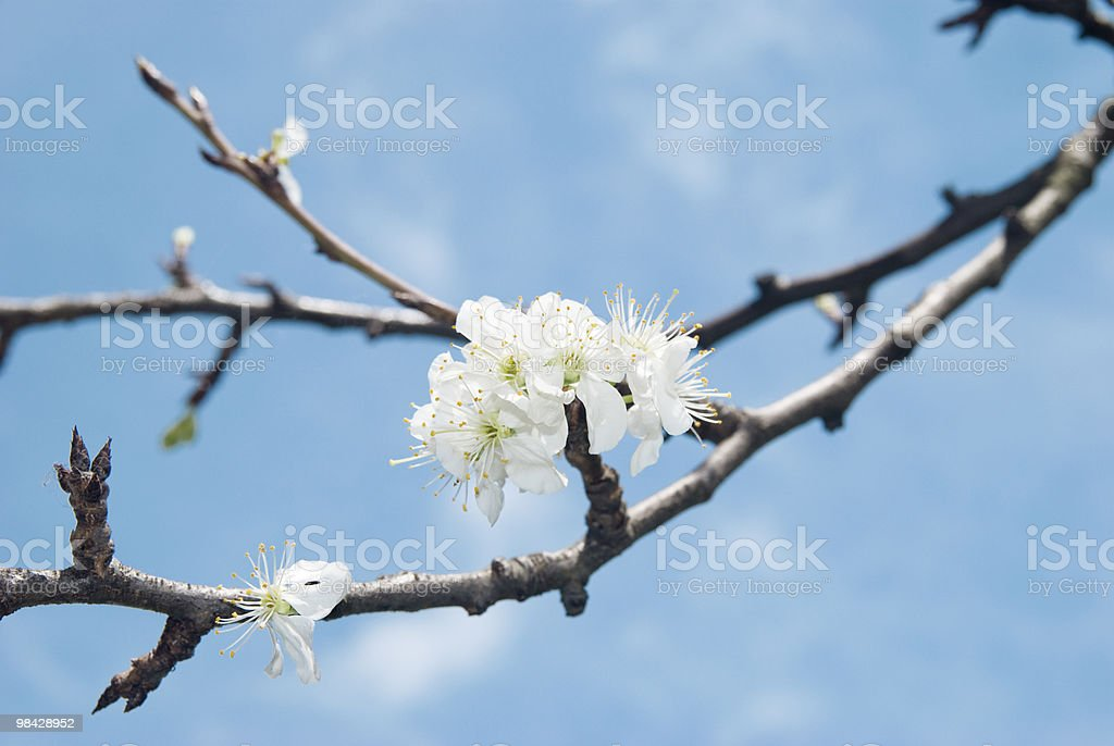 Plum Spring flower in april, sky background royalty-free stock photo