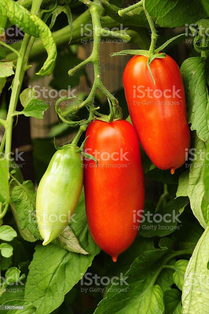 Plum tomatos on the vine stock photo