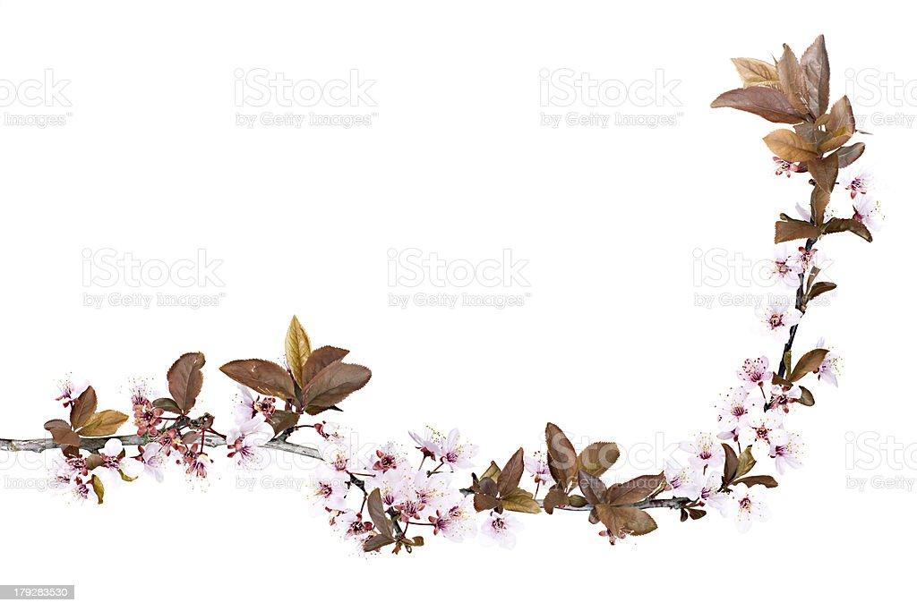 Árvore de Flor de Ameixa - foto de acervo