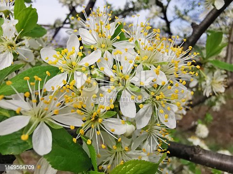Plum tree flower in the garden during springtime, close up image
