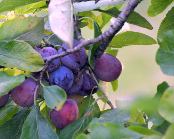 Plum tree stock photo