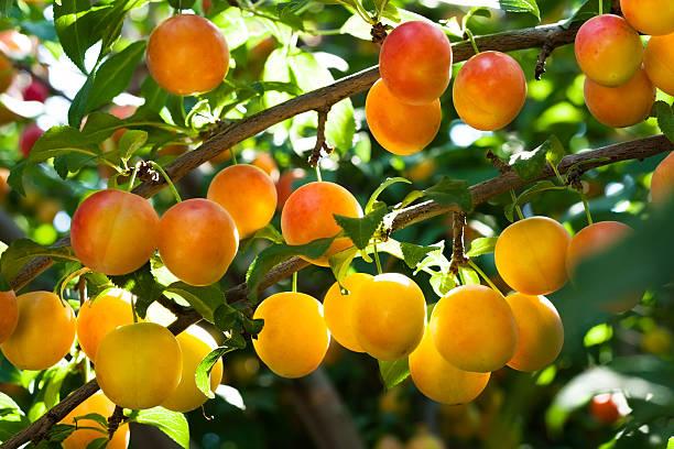 plum tree - mirabelle photos et images de collection